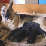 'V' Puppies