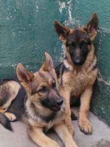 10 Month old GSDs